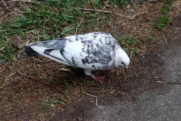 Gray dove №39882