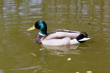 Duck №39654