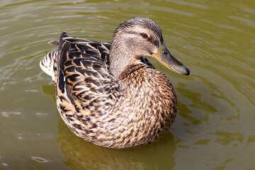 Duck №39670