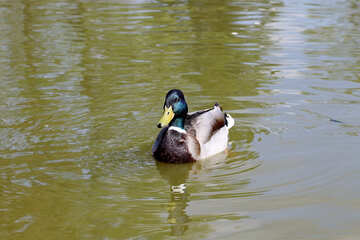The male duck №39665