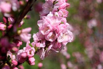 Branch of apple blossom №39788