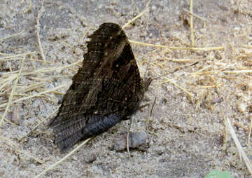 A butterfly with folded wings №39826