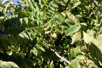 Walnut grows on tree №39626