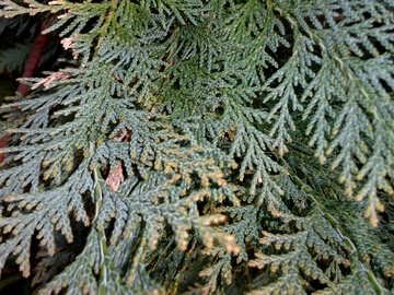 Arborvitae branches №39122