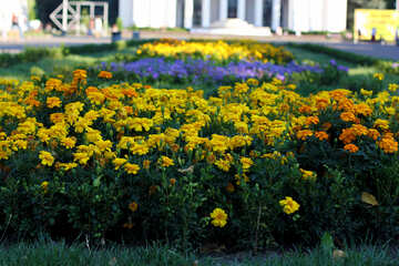Flower bed flowers marigolds №39635