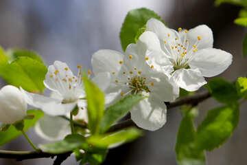 Albero da frutto fiori №39759