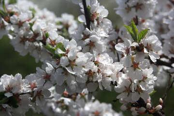 Spring flowering tree №39776