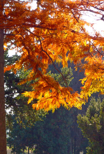 Golden Autumn №39151