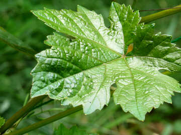 Grape leaf №39537