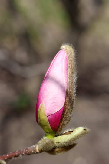 Beautiful bud of Magnolia №39731