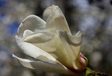 Magnolia blossoms №39697