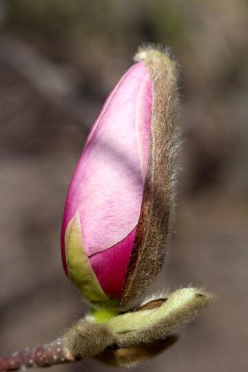Magnolia bud fairy №39729