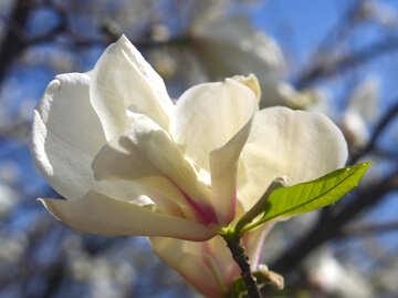 Delicate aroma of magnolia №39710