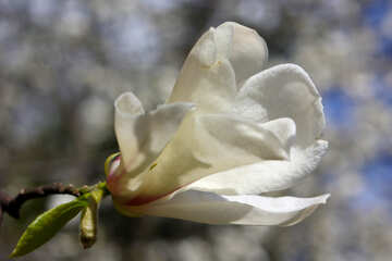 Magnolia flower big №39698