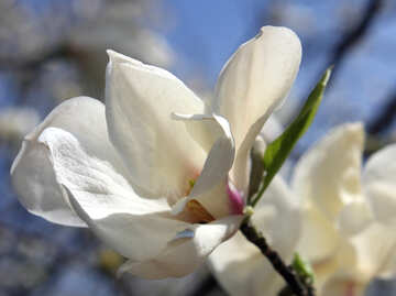 Magnolia flower blooms №39712