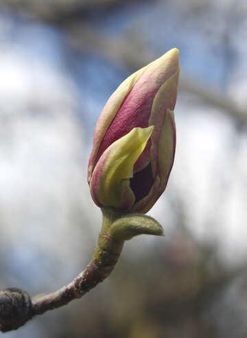Flowering pink Magnolia №39724