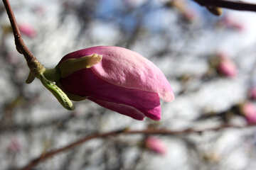 Spring Flower r Birch Magnolia №39728