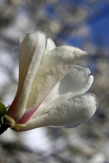 Spring scent of magnolia №39706