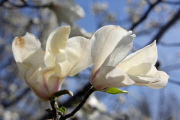 Magnolia is symbol of spring №39715