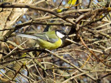 Chickadee sits on branch №39094