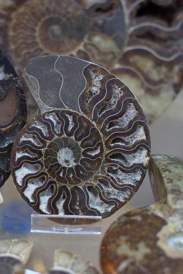 Ammonite №39384