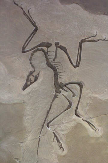 Skeleton fossil animal in stone №39357