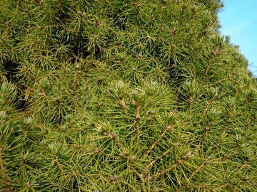 Spruce pine needles texture №39125