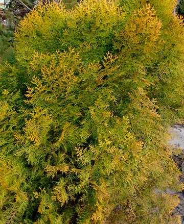 Leaves of Thuja №39119