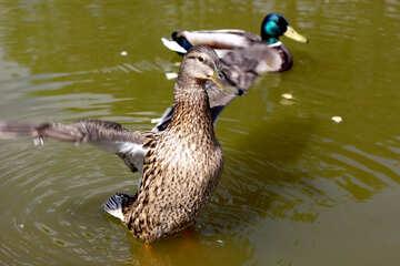 Wild duck №39675