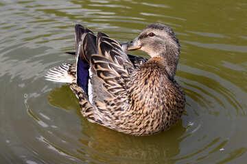 Wild duck №39681