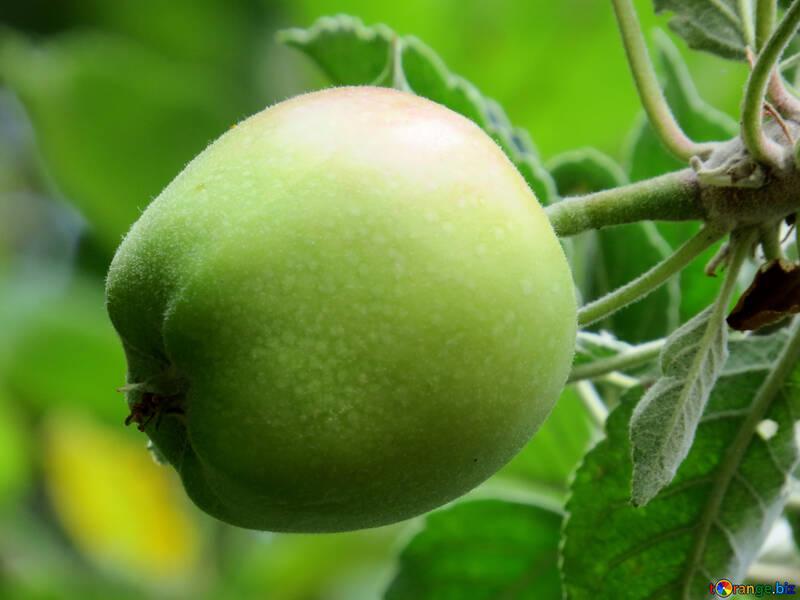 Risultati immagini per mela verde