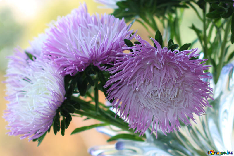 Flores Aster №39599