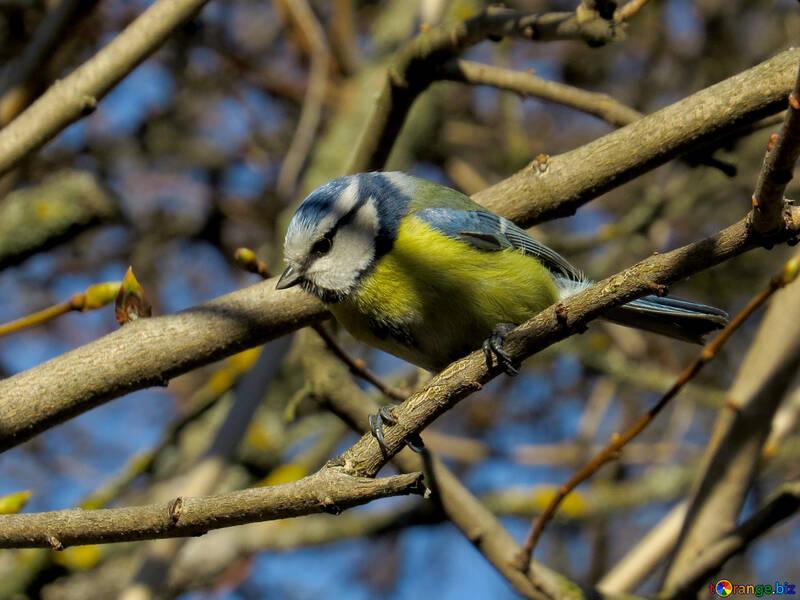 Chickadee with light blue Cap №39100