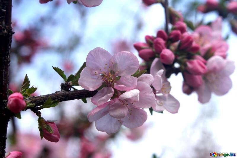 Цветущая ветка яблони №39782