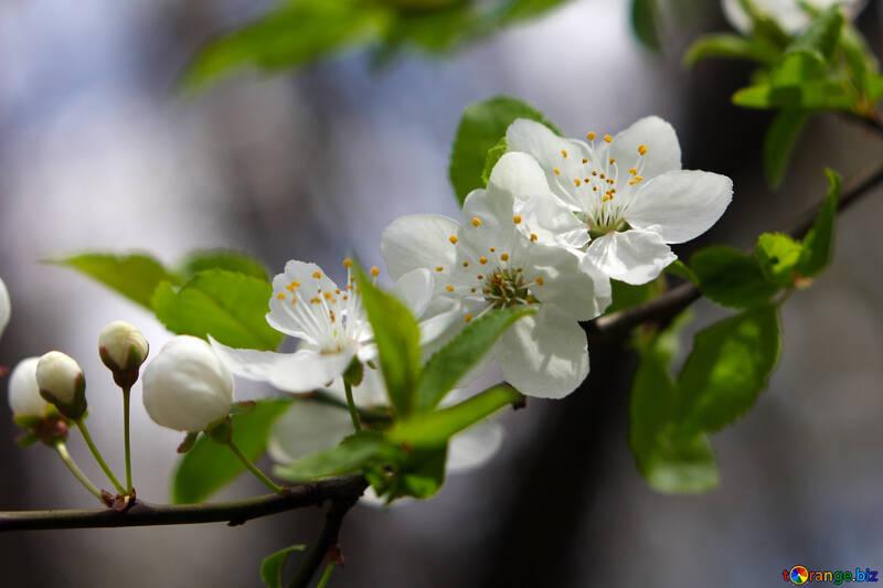 Цветущая вишня №39761