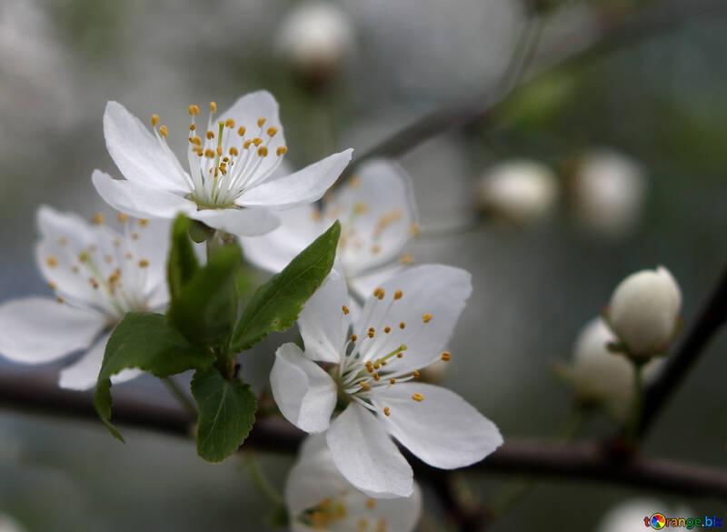 Цветы вишня №39748