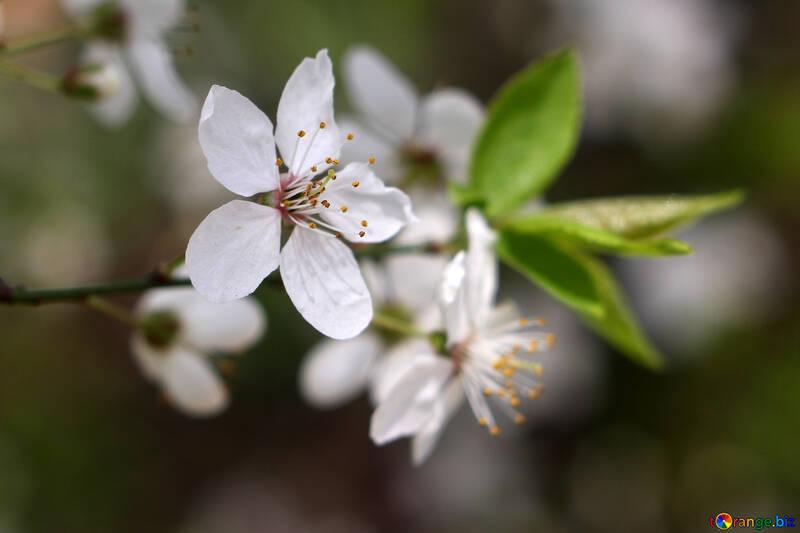 Цветок вишни №39790