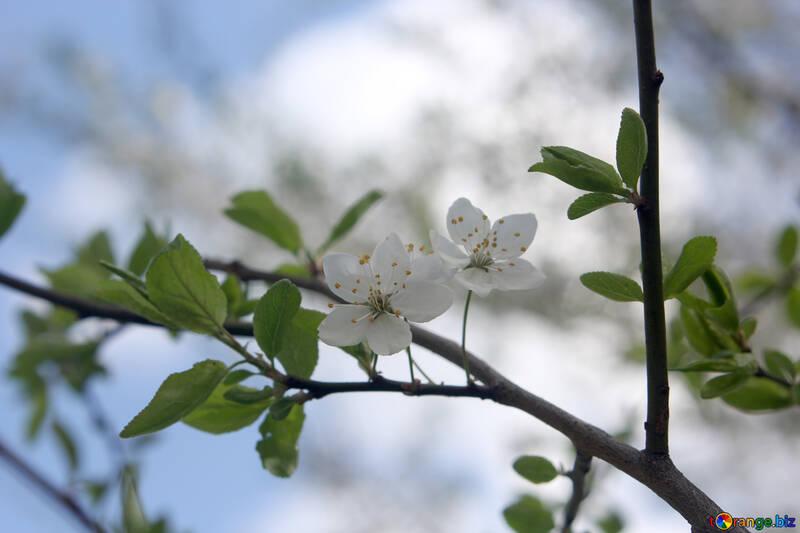 Фруктовый цвет вишни №39764