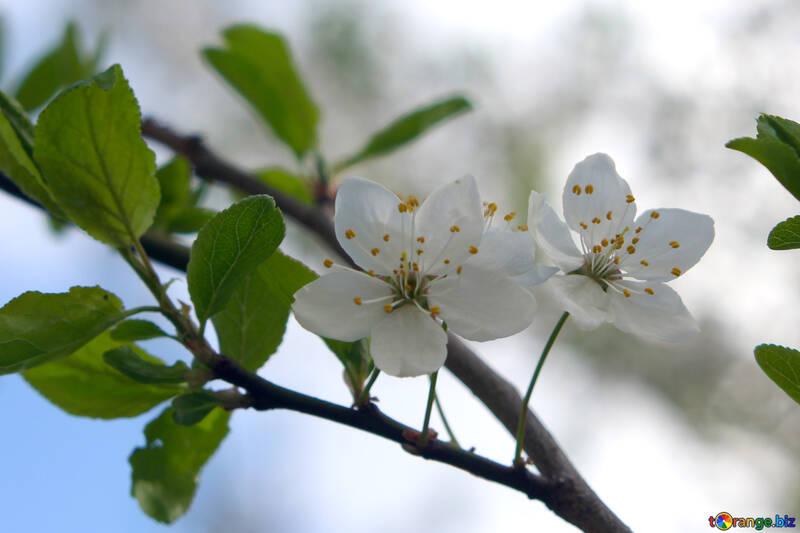 Цветы вишни №39763