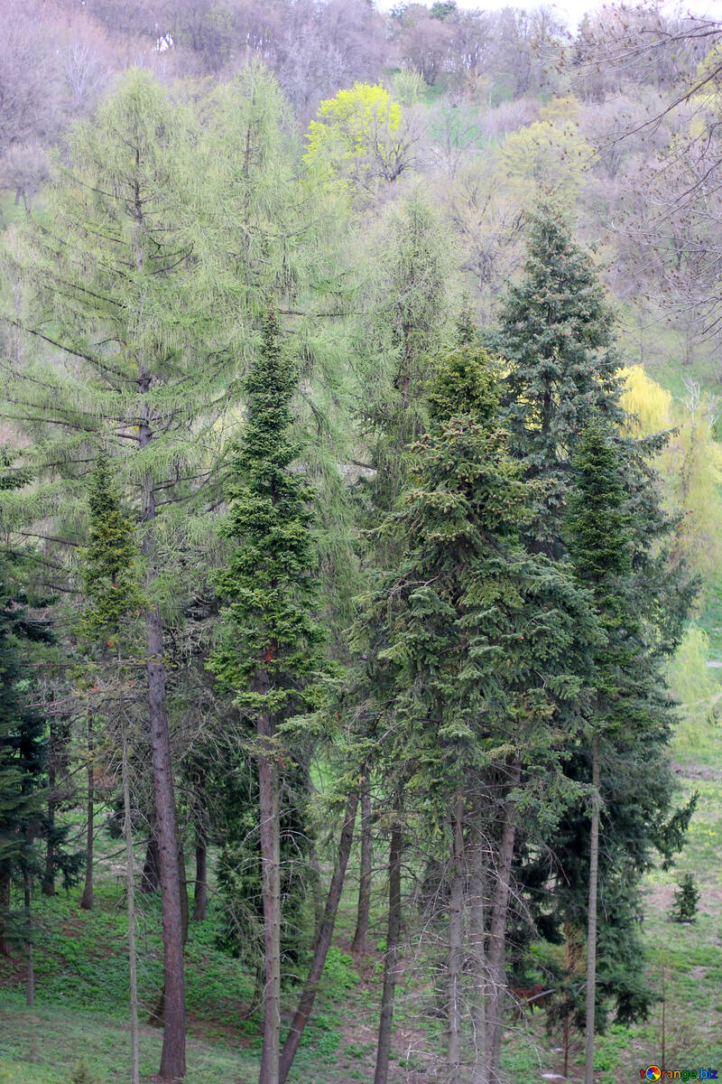 Pine trees on the slope in the spring №39875