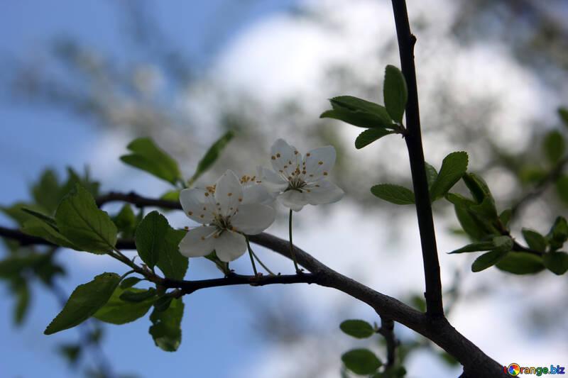 Вишня цветы №39762
