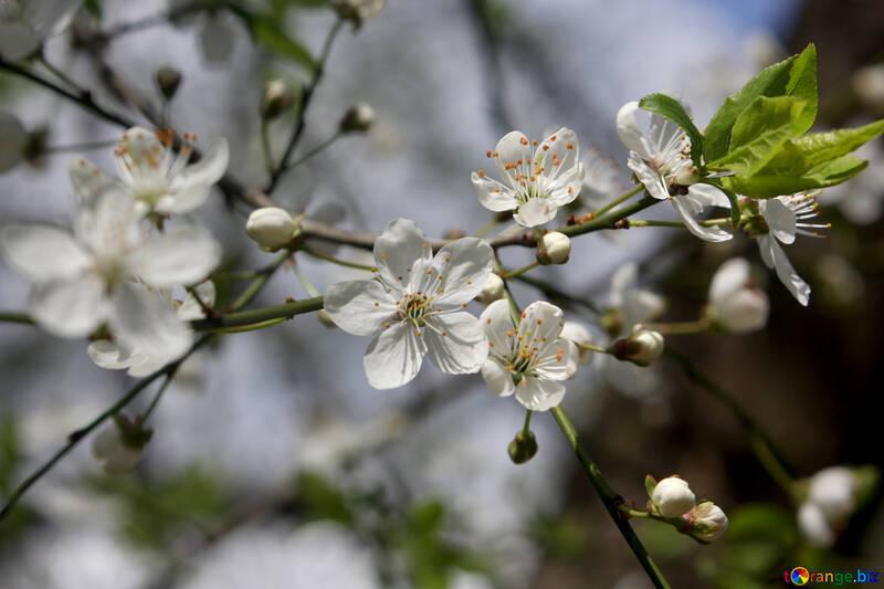 Цветы вишни на ветке №39791