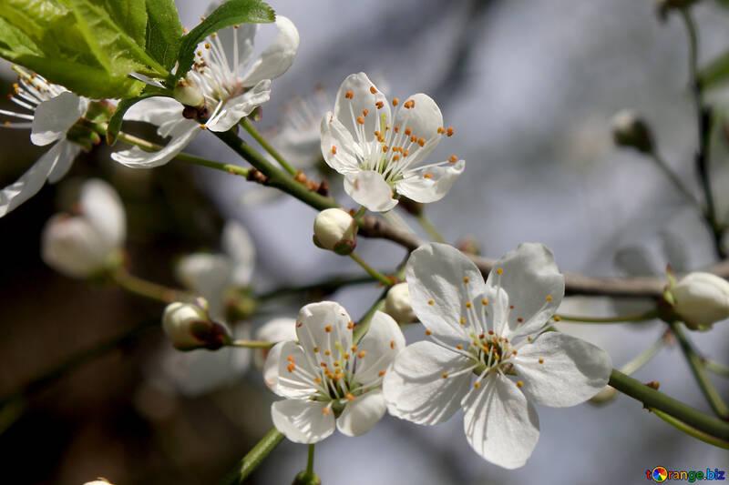 Flowers of cherry №39792