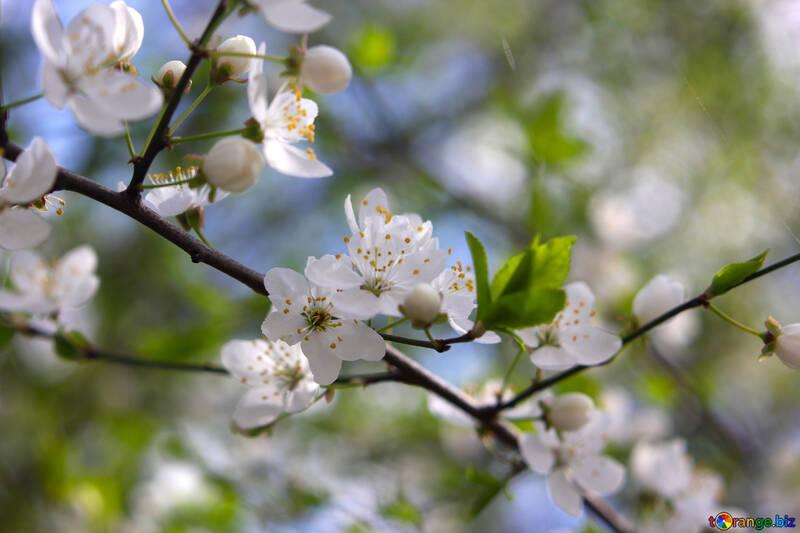 Цветы на дереве вишня №39751