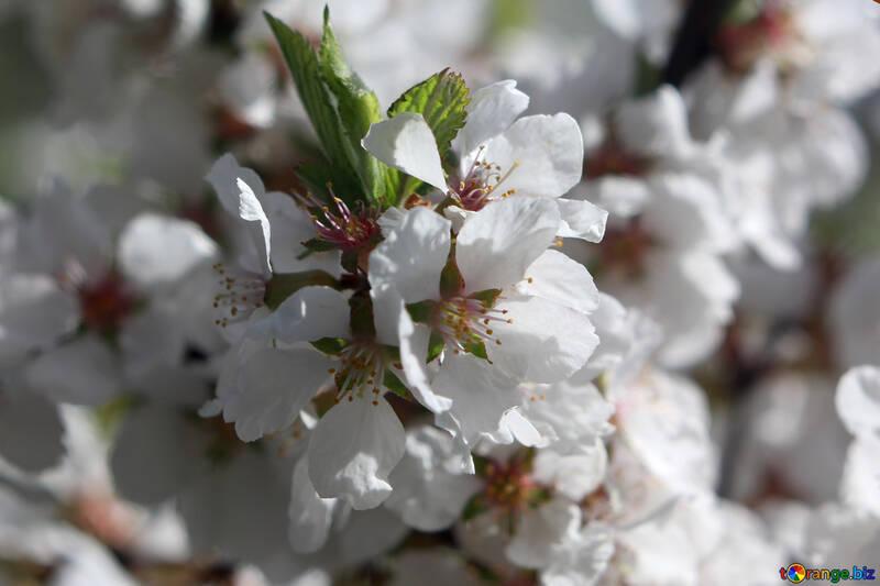 Large flowers of fruit tree №39772