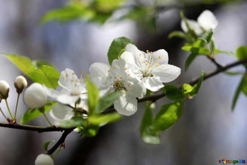 Цветущее дерево №39758