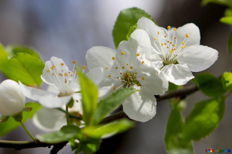 Цветки фруктового дерева №39759