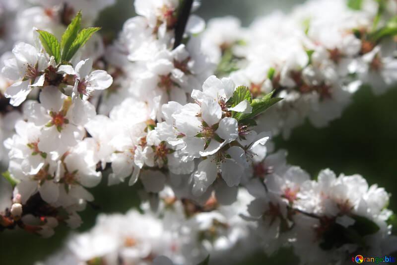 Ветки цветущего фруктового дерева №39773