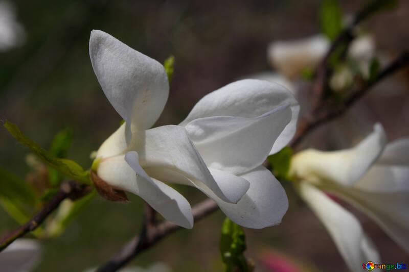 Белая весна №39745
