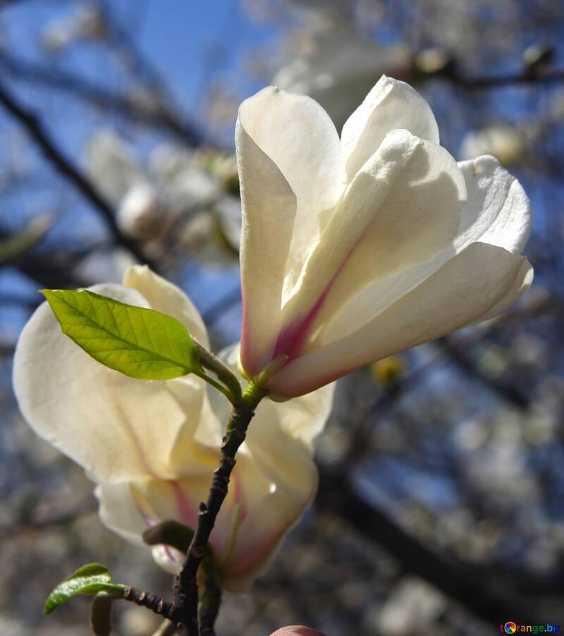 Magnolia №39709